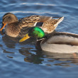 Stock Photo: Couple of ducks