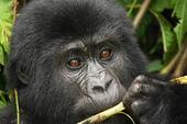 Eastern mountain gorilla baby in rainforest of Uganda — Stock Photo