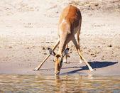 Drinking antelope — Stock Photo