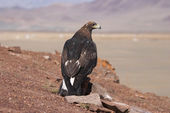 Tame hunting golden eagle in mongolian desert — Stock Photo