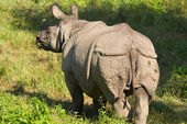 Asiatic rhinoceros — Stock Photo