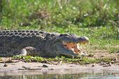 Crocodile on the Nile — Stock Photo