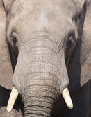 Close up of elephant, Chobe N.P., Botswana — Stock Photo