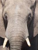 Close up of elephant, Chobe N.P., Botswana — Stock Photo