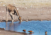 Drinking giraffe, Etosha N.P., Namibia — Stock Photo