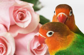 Lovebirds and pink roses — Stock Photo