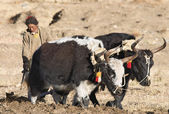 Tibetan farmer plough by draught yaks — Stock Photo