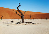 Dead tree in Dead Vlei - Sossusvlei, Namib desert, Namibia — Stock Photo