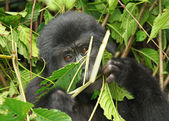 Eastern mountain gorilla baby in rainforest of Uganda — Stock Photo