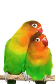 Pair of lovebirds agapornis-fischeri isolated on white — Stock Photo