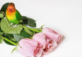 Lovebird and pink roses — Stock Photo