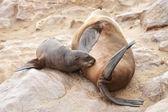 Sceller femelle avec bébé — Photo