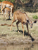 Kudu antelope, Chobe N.P., Botswana — Stock Photo