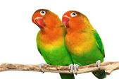 Pair of lovebirds — Stock Photo