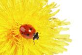 Yellow flower with ladybug isolated on white — Stock Photo