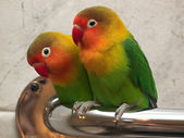 Pair of little lovebirds — Stock Photo
