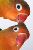 Pair of little parrots agapornis-fischeri — Stock Photo