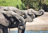 Drinking elephants, Chobe N.P., Botswana — Stock Photo
