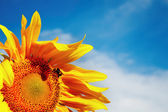 Sunflowers on blue sky background — Stock Photo