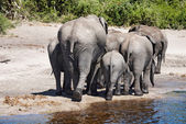 Herd of elephants, Chobe N.P., Botswana — Stock Photo