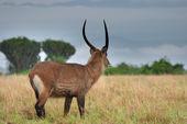 Mannetje van bosbok antelope — Stockfoto