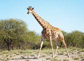 Wild giraffe in african savanna, Etosha N.P., Namibia — Stock Photo