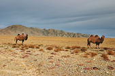 Two camels, Gobi Desert, Mongolia — Stock Photo