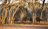 Herd of buffaloes in african savanna, Etosha N.P., Namibia — Stock Photo