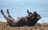 Wild buffalo wallowing in the mud, Chobe N.P., Botswana — Stock Photo