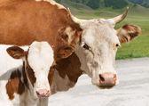 Wołowiny i cielęciny — Zdjęcie stockowe