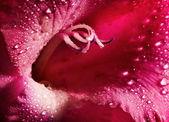 Red flower closeup — Stock Photo