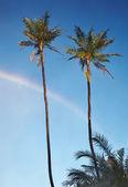 两个棕榈树和津巴布韦维多利亚瀑布附近的蓝色天空的彩虹 — 图库照片