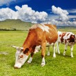 Grazing cows — Stock Photo #30826577