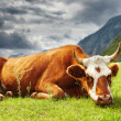 Stock Photo: Meditative cow