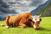 Meditative cow — Stock Photo