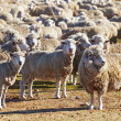 Herd of sheep — Stock Photo #40852547