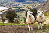Grazing sheep, New Zealand — Stock Photo