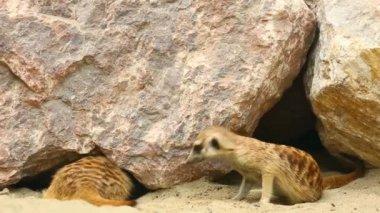 Meerkats. — Stock Video