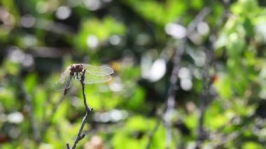 Dragonfly. — Video Stock