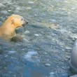 Stockvideo: Polar bears.