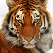 Tiger portrait — Stock Photo #1653853