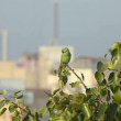 Rose-ringed Parakeet - Stock Photo