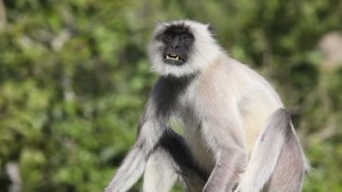Gray langur. — Stock Video