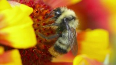 Bumblebee at work. — Stockvideo
