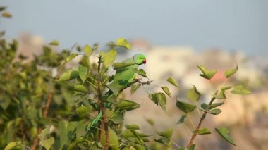 Rose-ringed Parakeet. — Stock Video