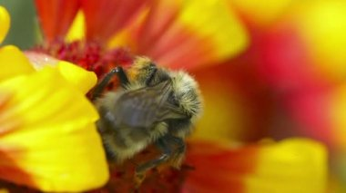 Bumblebee at work. — Vídeo de stock