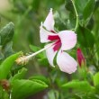 Hibiscus flower — Stock Video