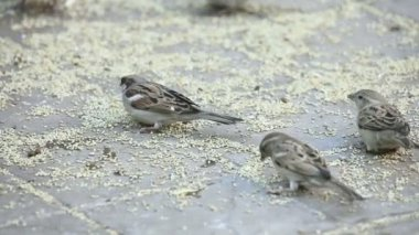 Sparrows pecking seed scattered on the pavement — Stock Video