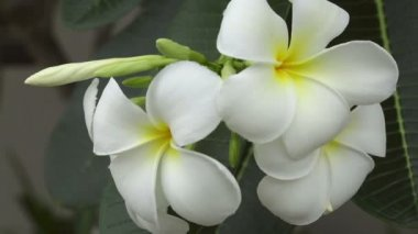 White Plumeria Flower — Stock Video