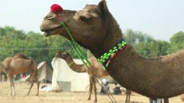 Decorated camels head closeup — Stock Video